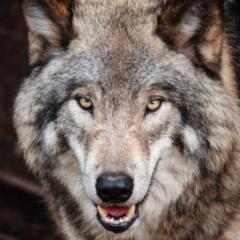 whitewolf332512
